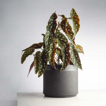 interior-design, home-accessories, flower-pots, FLOWER POT ALL BLACK 3000 - BLACK 3000 BEGONIA W04 350x350