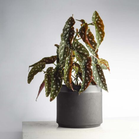 home-accessories, interior-design, flower-pots, FLOWER POT ALL BLACK 3000 - BLACK 3000 BEGONIA W04 470x470